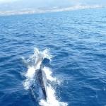 Дельфины играют наперегонки с яхтой